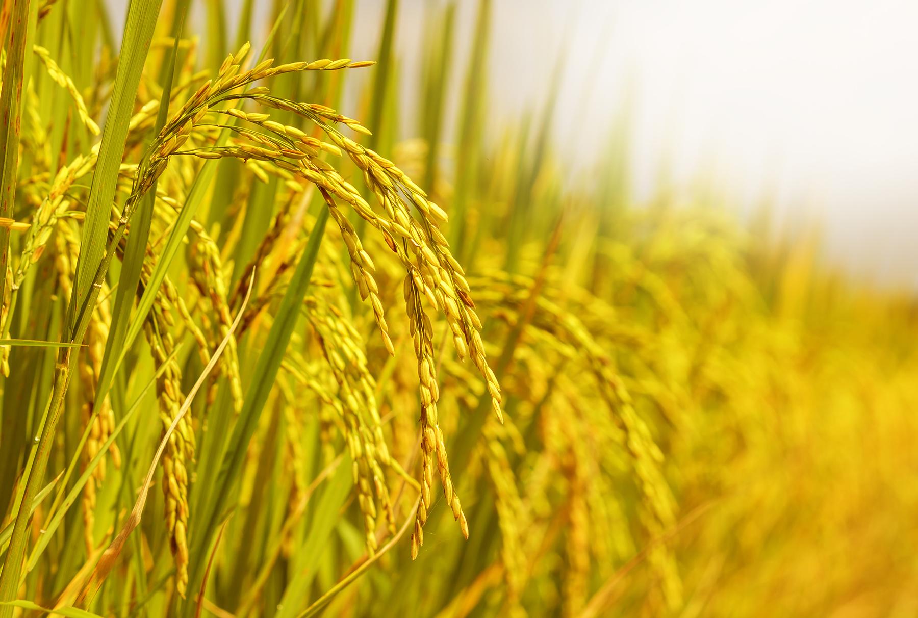 RISO-biologico-Bianco-Arborio-Non-GMO-Kosher-BULK-da-parte-del-cibo-a-vivere miniatura 17